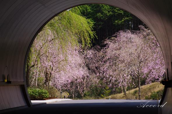 滋賀県 MIHOミュージアムの垂れ桜