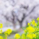 京都がダメなら滋賀県でお花見デート