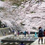 """神戸のお花見デートはやはり""""夙川公園"""""""